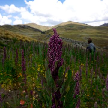 Image of Quinoa plant